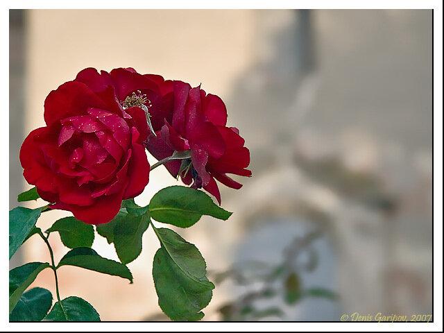 Осенняя роза около памятника Янису Чаксте