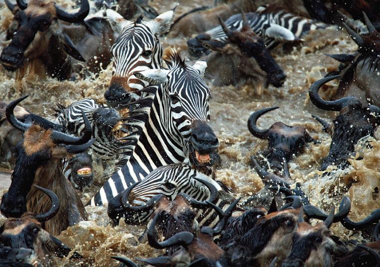 Xrabrye-zebry-protiv-tysyach-antilop-11-foto