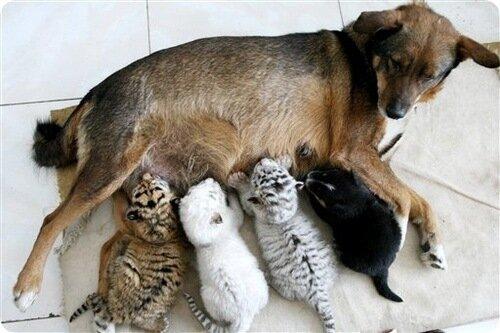На фотографии собака по кличке Хуани вскармливает 3-х новорожденных тигрят, от которых отказалась их мать… В Китайском зоопарке это нормальная практика, когда собака вскармливает тигриную или медвежью малышню… в общем, для Хуани это не в первой…