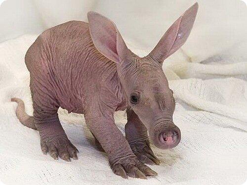 svetluneva — «Трубкозуб (лат. Orycteropus afer) – млекопитающее животное. Сегодня это единственное животное, которое сохранилось из отряда трубкозубых и обитает оно ныне только на территории Африки.» на Яндекс.Фотках