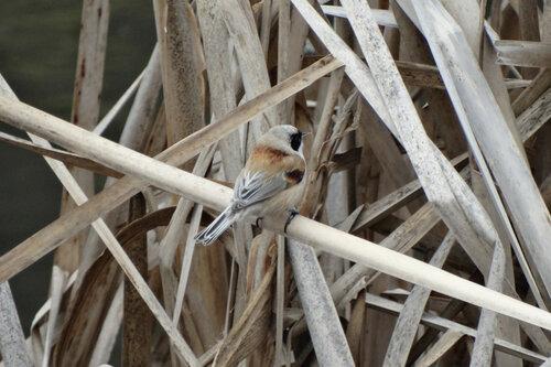 На фото может быть и похожа в чём-то, но в природе совсем другая птичка, и по голосу, и по облику, и по поведению. Но особенно она выделяется своей черной маской. Автор фото: Привалова Марина