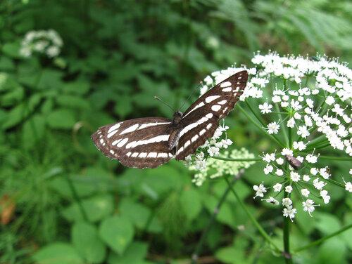 Пеструшка темнокрылая, или пеструшка Сапфо, или пеструшка Сафо — дневная бабочка из семейства нимфалид. Википедия Автор фото: Олег Селиверстов