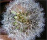 флора-6* Тайны одуванчика