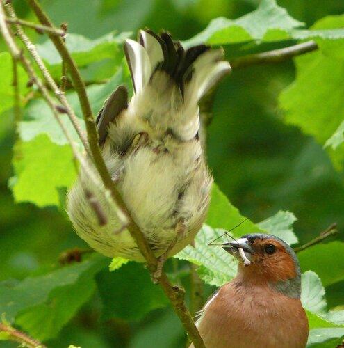 Зяблик (самец) кормит слётка