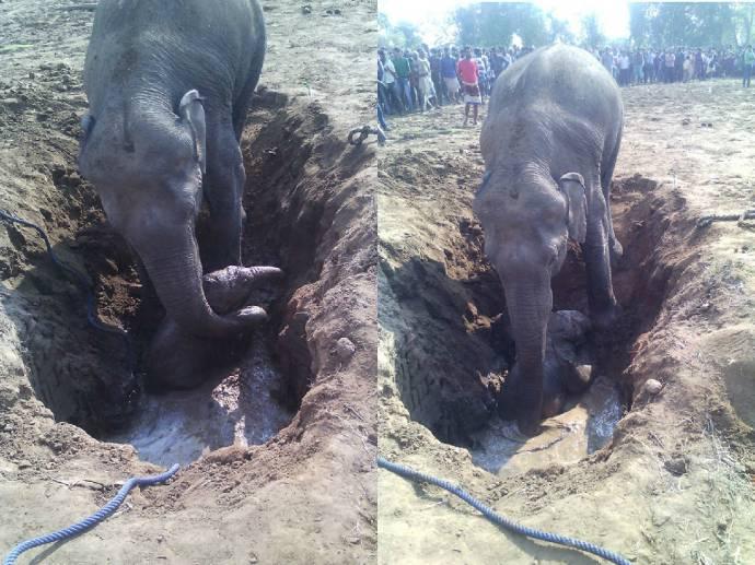 слониха спасает слоненка из ямы