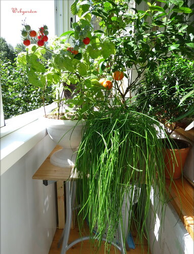 Зеленые овощи и пряные травы на балконе - зелёный дневник.