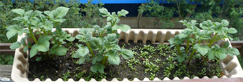 картошка на окне
