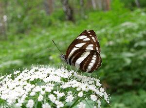 s:дневные бабочки,c:белые,c:с темными полосами