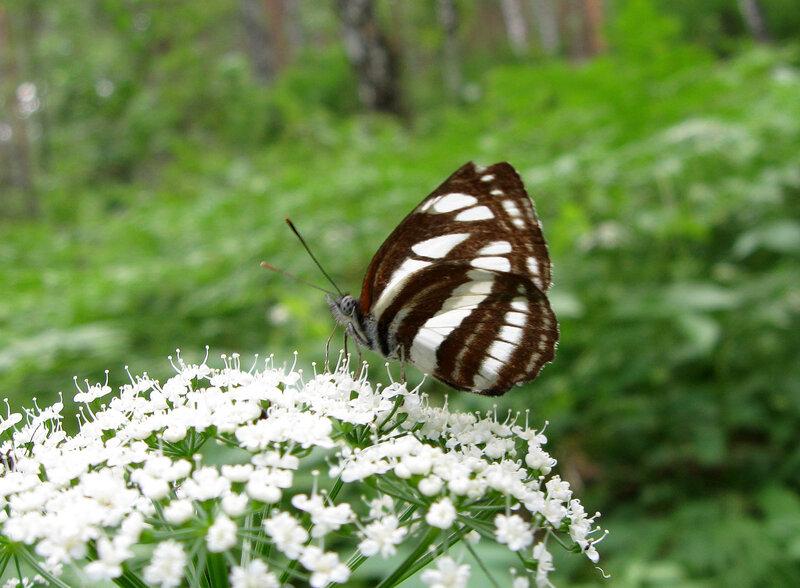 Пеструшка темнокрылая (Neptis sappho)