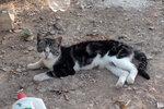 Коты-киприоты