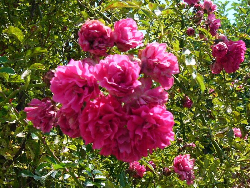 куст розы.