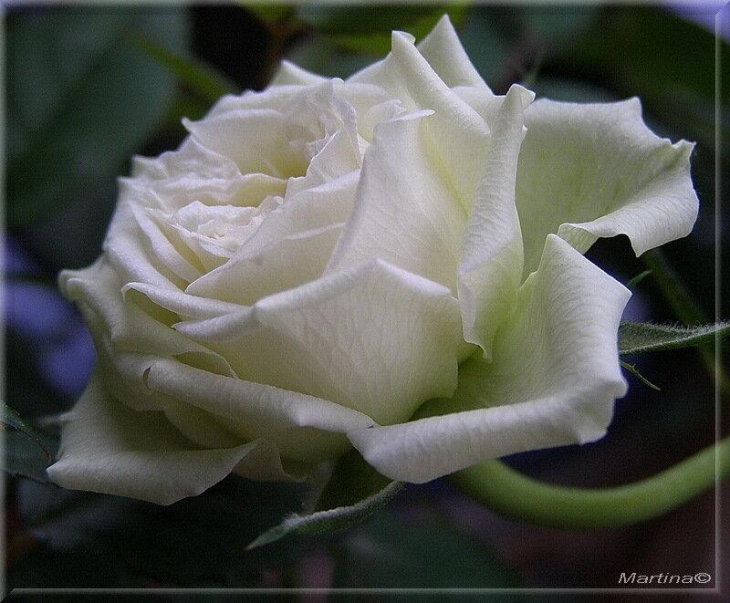 стоит белые розы стихи красивые опыте ваткой водой