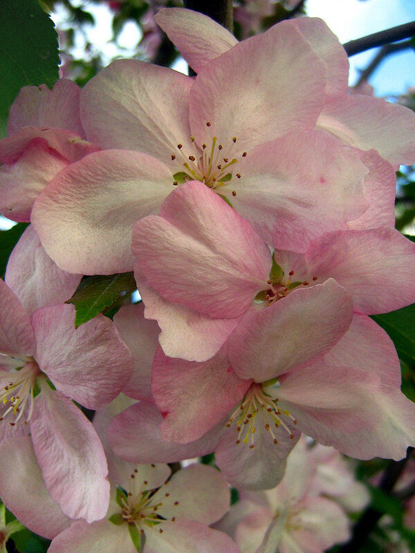 Нежно розовая яблоня