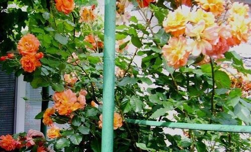 Китаевские розы