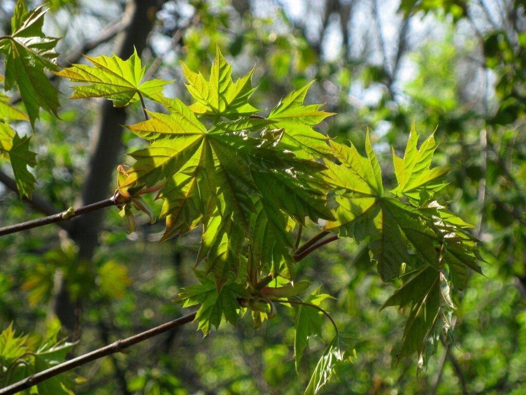 Молодые листья клена