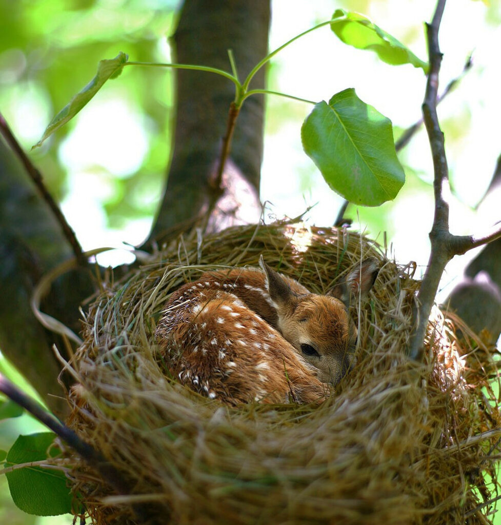 Fawn_in_a_nest-s1000x1048-231986.jpg