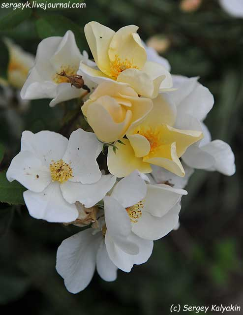 Rosa Kew Gardens (74).JPG