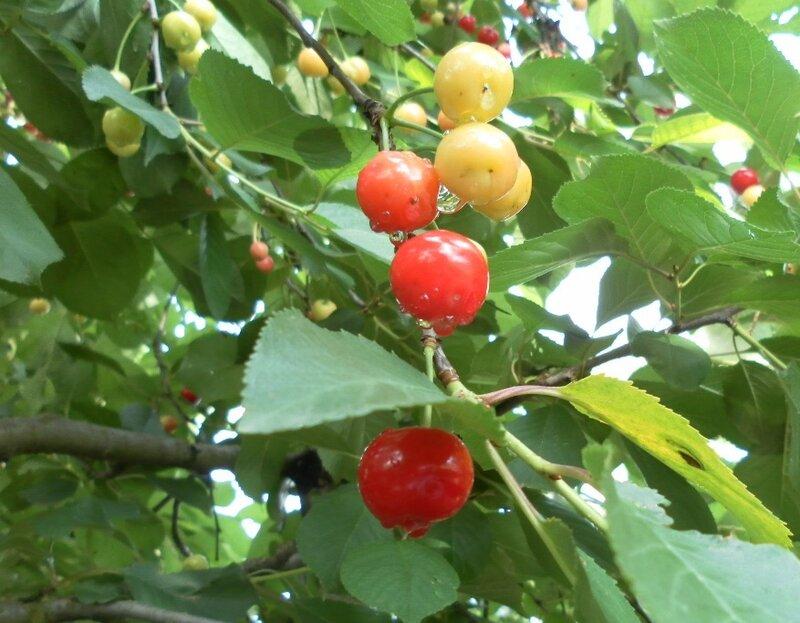 Плоды вишни.
