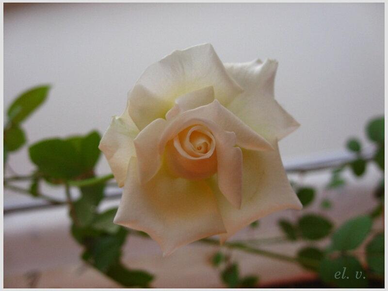 роза номер три
