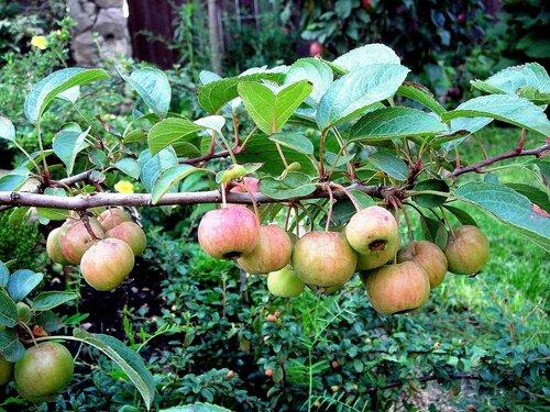 Разведение карликовых яблонь