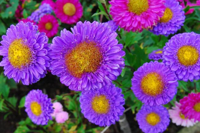 фіолетові айстри