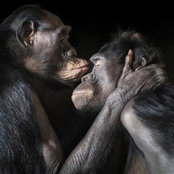 Пара бонобо. Этот вид шимпанзе обитает во впадине Конго и в Центральной Африке.