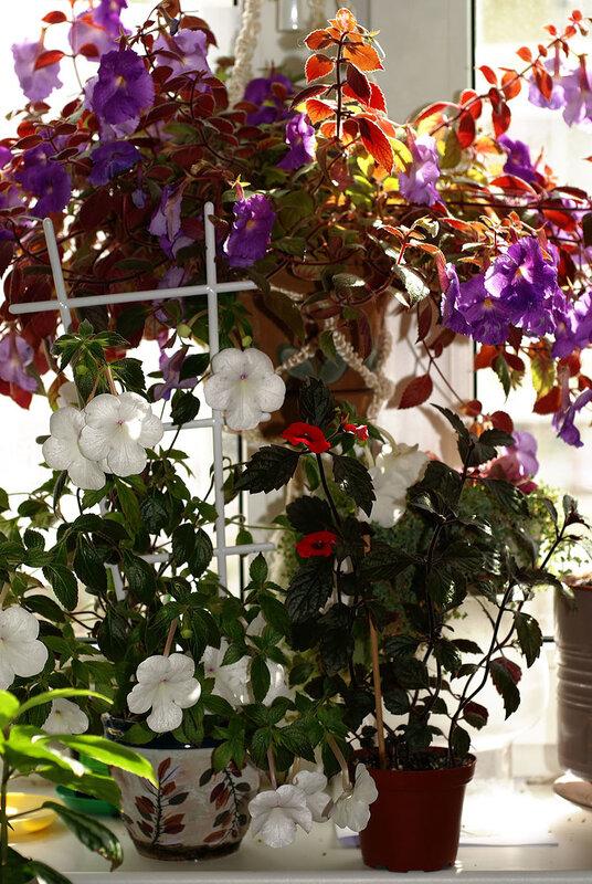 Ахименесы – гибридный лиловый, «Белая Принцесса» - White Princess, «Красный Эльф» - Red Elf