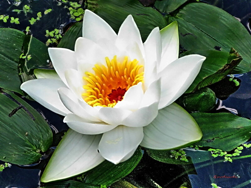 Кувшинка-значение цветка