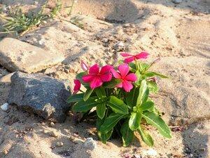Пляжный цветок