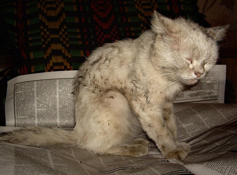 Заболевания кожи у кошек в картинках