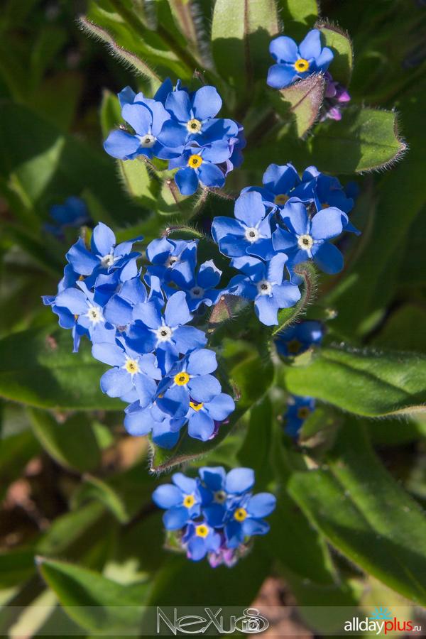 Я люблю все цветы, выпуск 157 | Незабудки  - «слёзы невест».