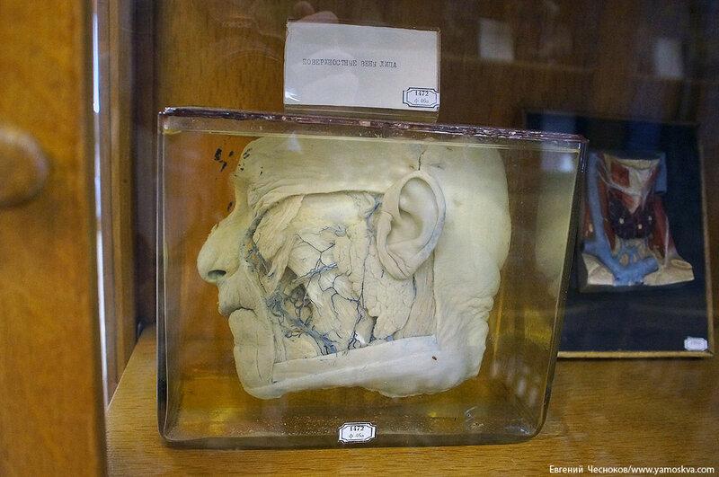 Лето. МГМУ. Музей анатомии. 27.08.15.41..jpg