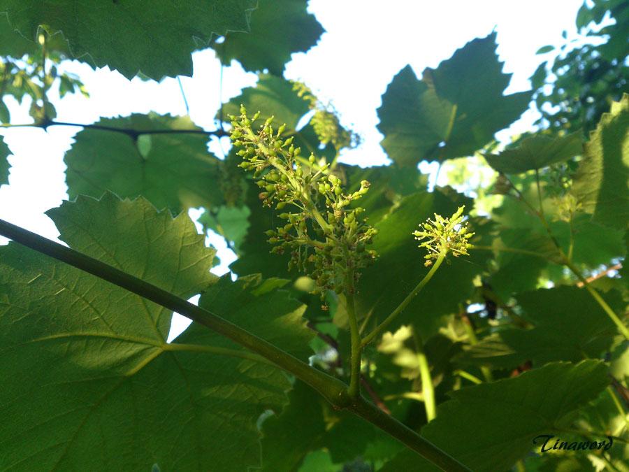 виноград-.jpg