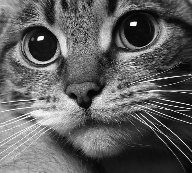 фото кошки серой