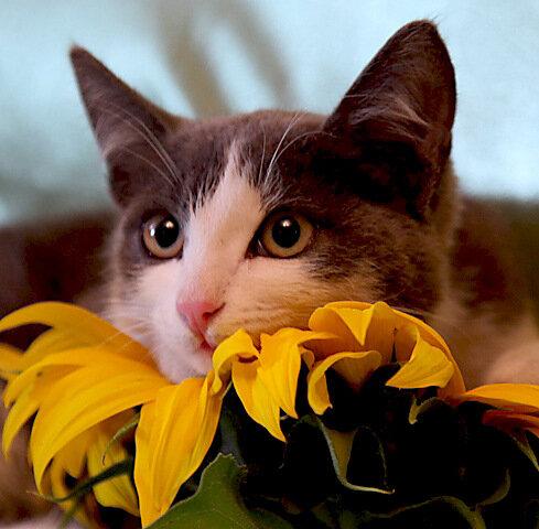 Котёнок на подсолнухе