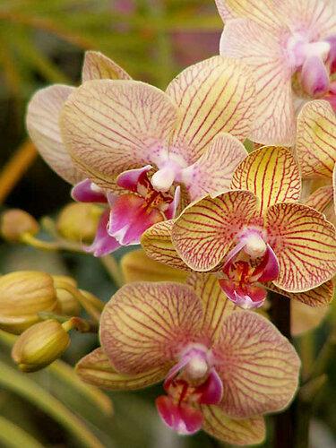 Phalaenopsis hybr.