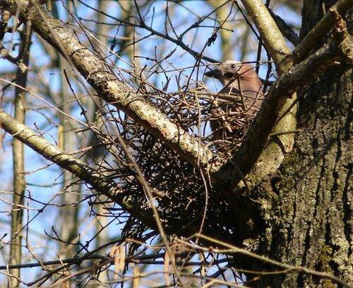 Сойка строит гнездо