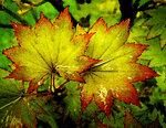 Листья клена. Акварель.