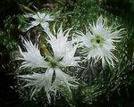 Летом белые снежинки ты найдешь в саду своем...