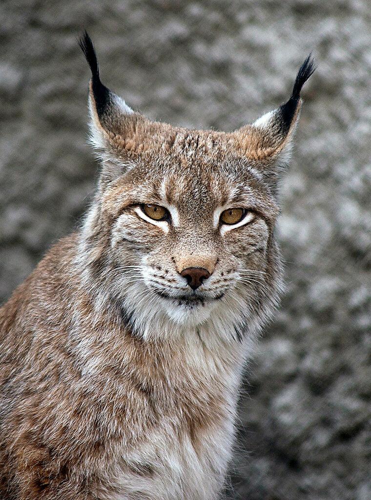 Рысь- кошка мудрая