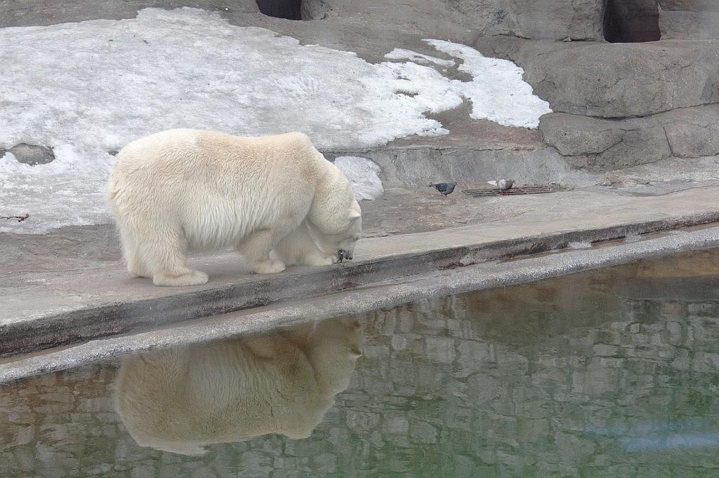Белые медведи 2009