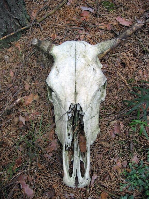 череп животного в пурдошках