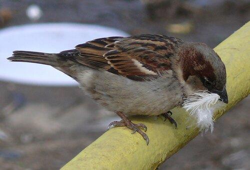 Домовый воробей собирает строительный материал для гнезда