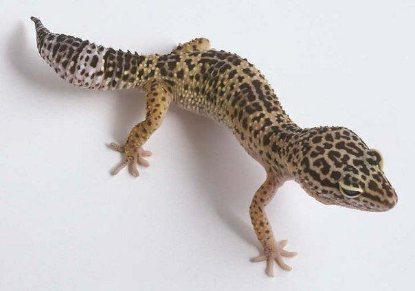 эублефар геккон разведение