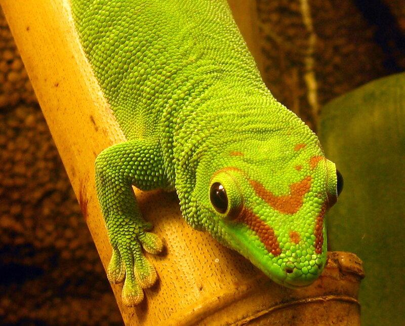 золотопыльный дневной геккон