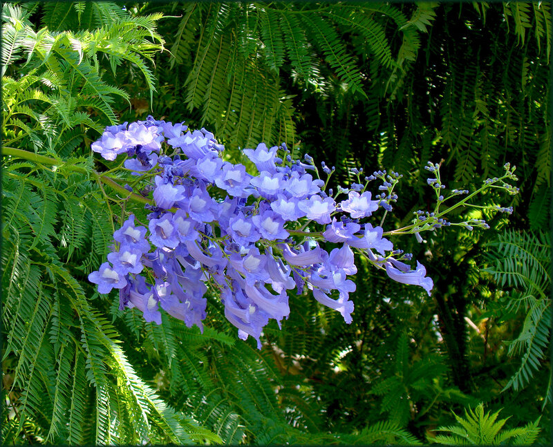 Фиалковое дерево или Жакаранда мимозолистная. http://triino.ru