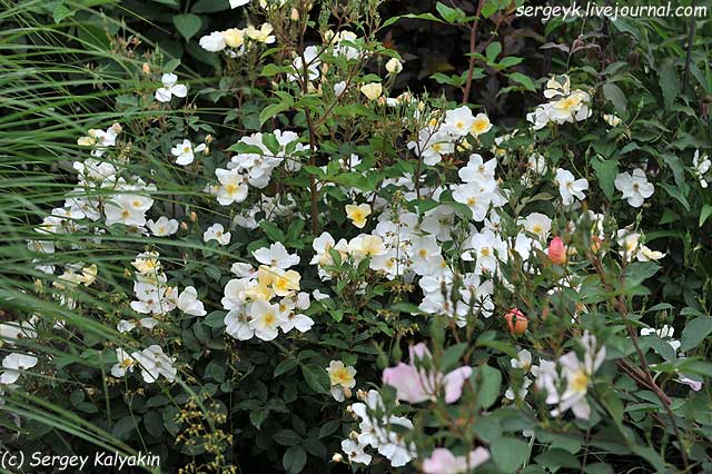 Rosa Kew Gardens (67).JPG
