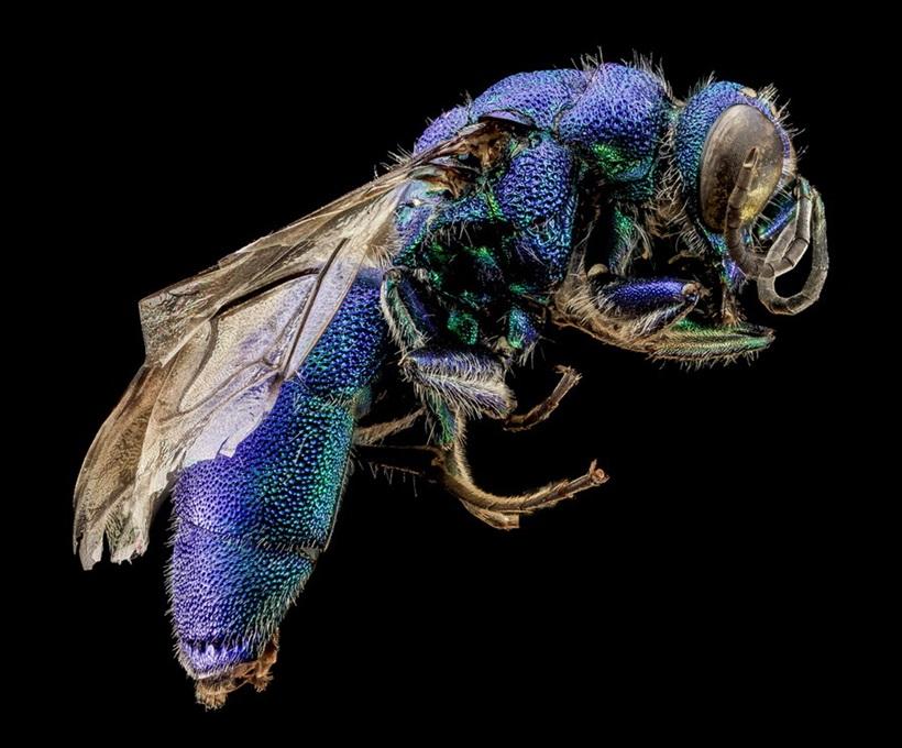 Макрофотографии разноцветных американских пчел 0 13d2b4 9c49bbed orig