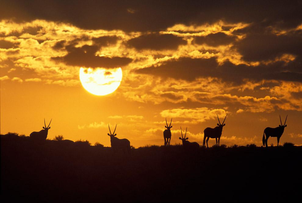 16. Силуэты кенгуру на фоне заходящего солнца.