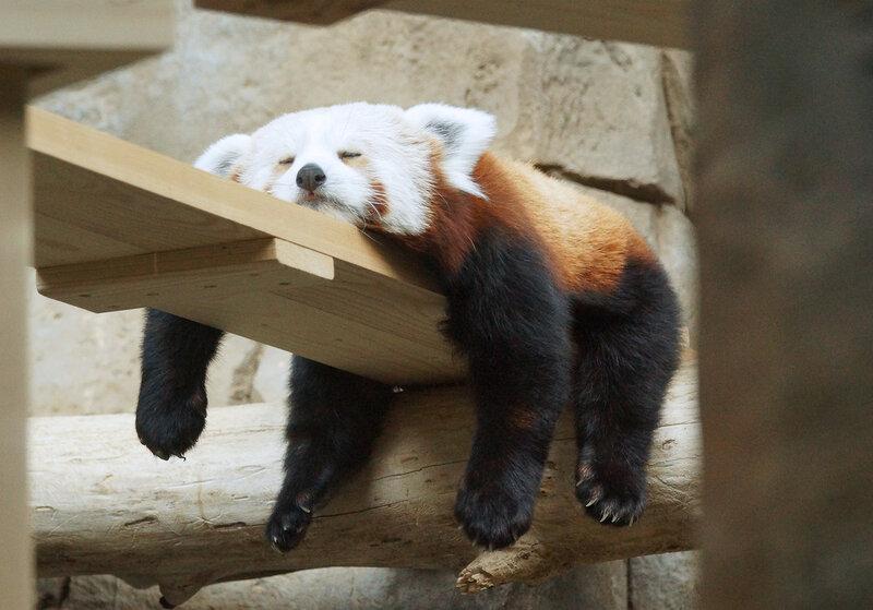 красная панда3.jpg